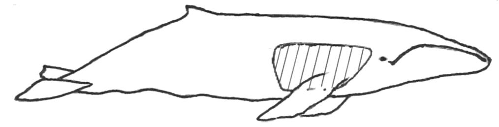 (Balaenoptera physalus). Illustrasjon: S Kessler and EO Øen Fig. 33.