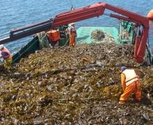 Seaweed cultivation: Potentially the largest marine biomass resource?