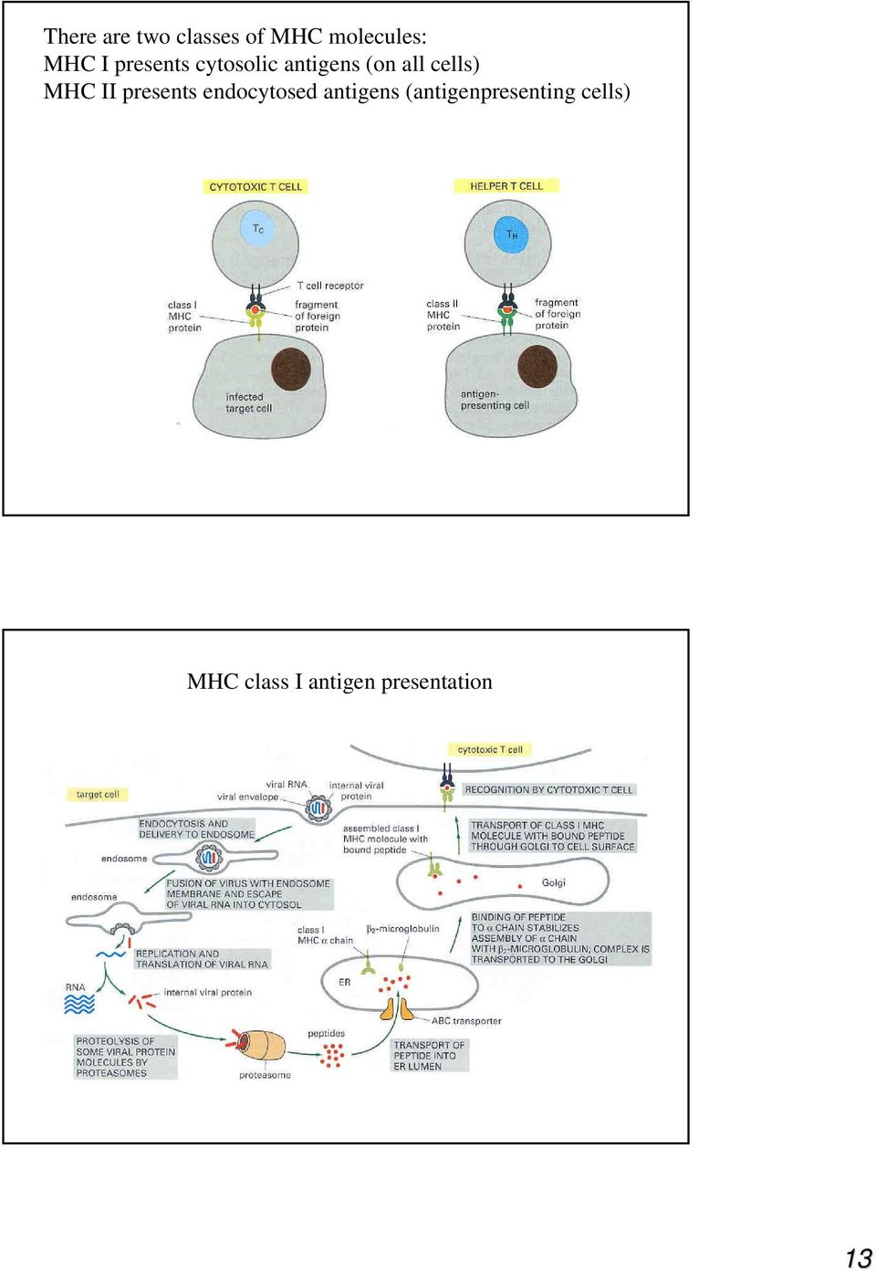 II presents endocytosed antigens