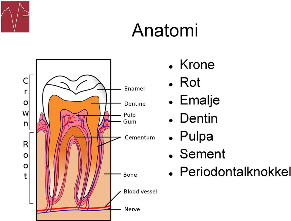 Dentin Pulpa