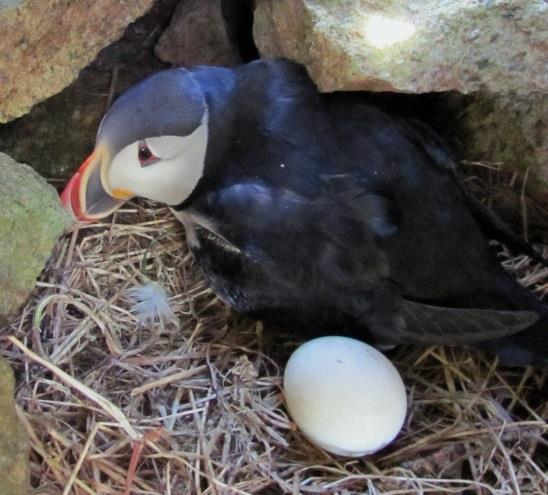 Egg volume (ml) Long-term decline in egg size of Atlantic puffins