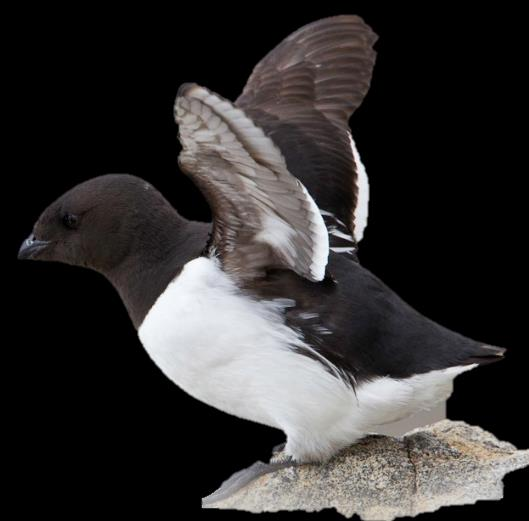 Egg size of Little Auks in
