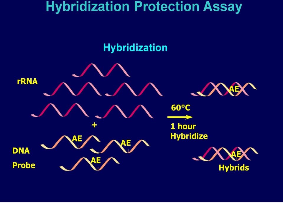 Hybridization rrna AE Dual Kinetic Assay (DKA)