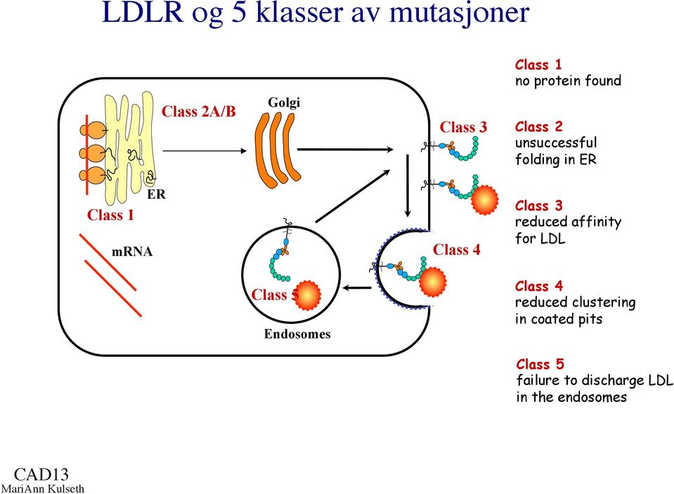 reduced affinity for LDL Class 5 Endosomes Class 4 reduced clustering in