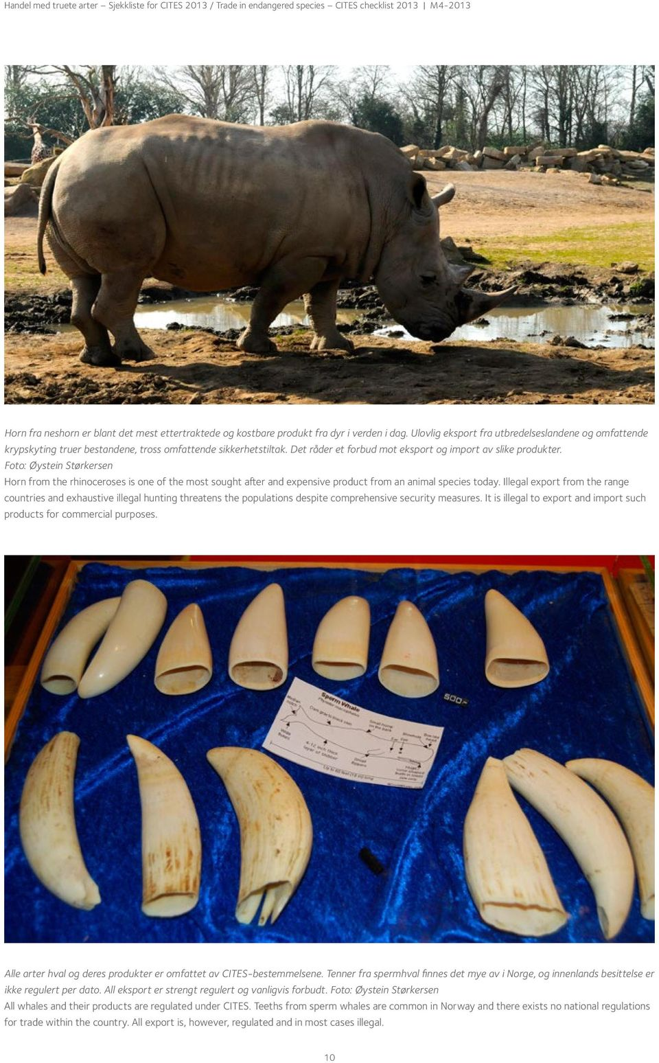 Foto: Øystein Størkersen Horn from the rhinoceroses is one of the most sought after and expensive product from an animal species today.