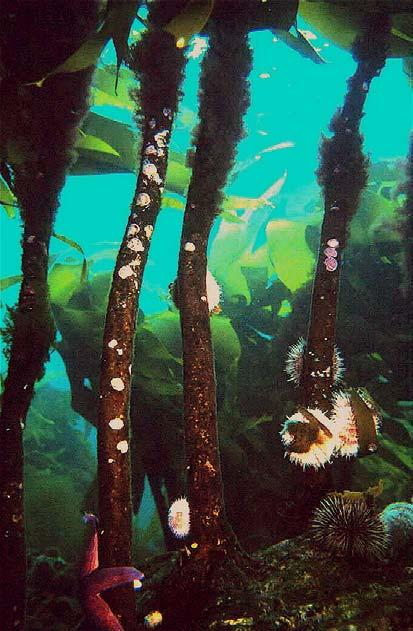 Where have all the kelp plants gone?