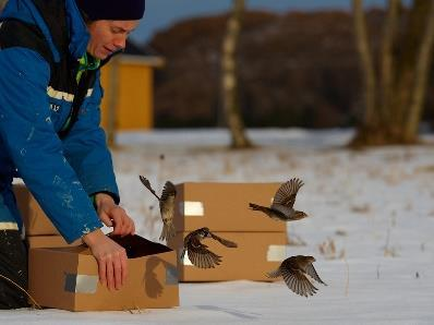 s: Preliminary title: Release of translocated house sparrows: Associate Professor Henrik Jensen, Centre for Biodiversity Dynamics (CBD), Department of Biology (IBI) (www.ntnu.