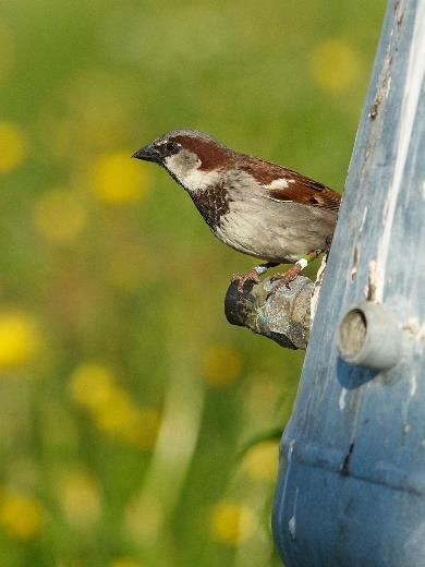 s: Preliminary title: A color ringed male house sparrow in one of our study populations: Associate Professor Henrik Jensen, Centre for Biodiversity Dynamics (CBD), Department of Biology (IBI) (www.