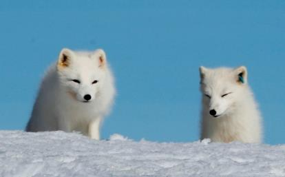 Two ear-tagged arctic foxes in winter fur: Henrik Jensen, Associate Professor, Centre for Biodiversity Dynamics, Department of Biology (https://www.ntnu.